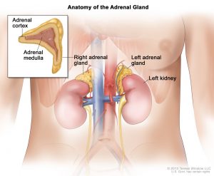 adrenal glands 2