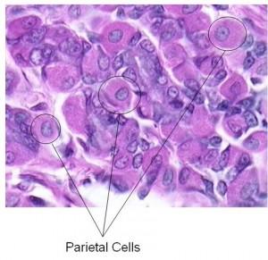 Gastric parietal cells
