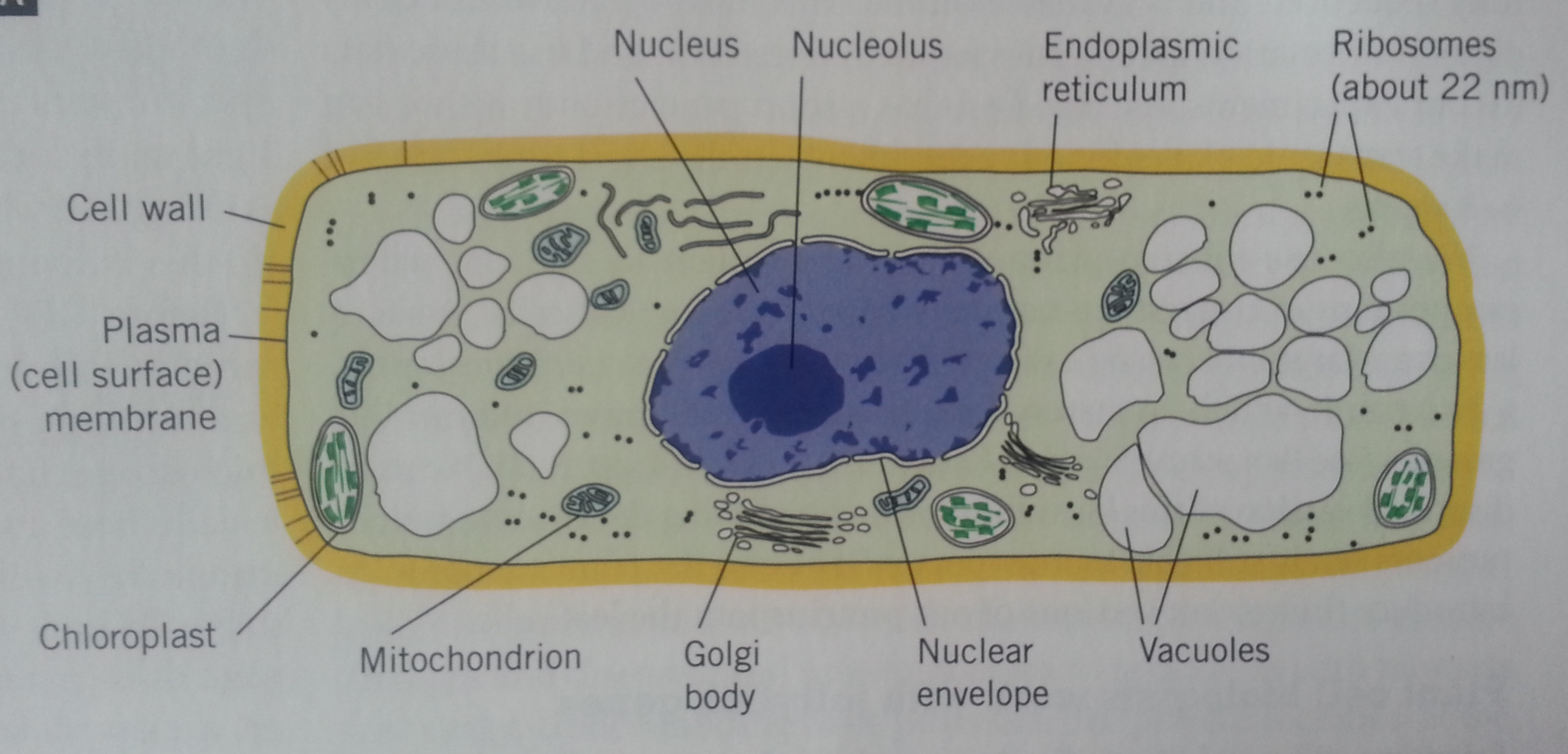 animal cell golgi bodies - photo #28