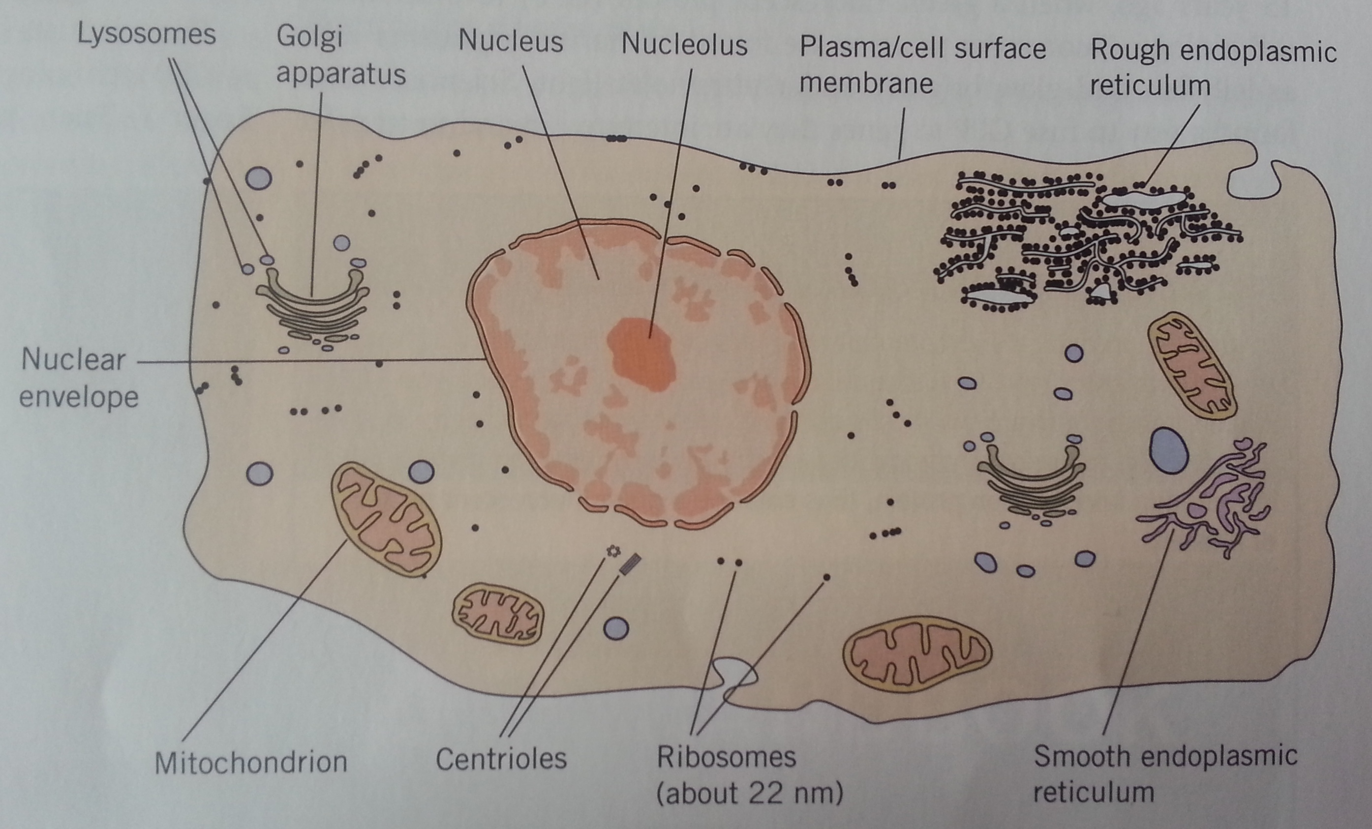 animal cell golgi bodies - photo #16