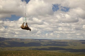 Black-Rhino-relocation-by-009