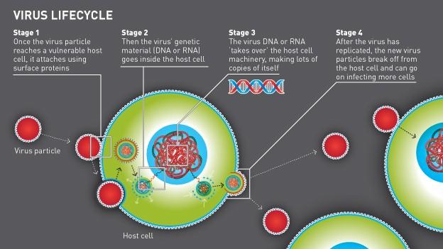Influenza-A-Virus