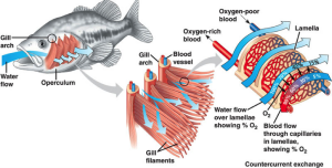 Fish gas exchange system