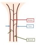 Tail blood vessels