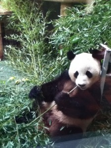 Yang Guang, Edinburgh Zoo's male giant panda
