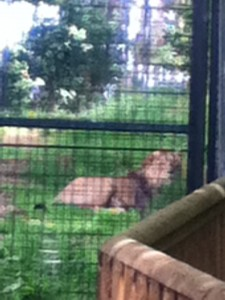 Male Asian Lion (very bad resolution)